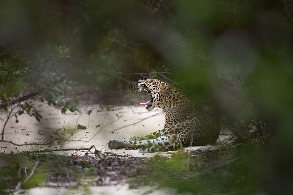 Day 05 Gal Oya National Park - Full Day Leopard Safari
