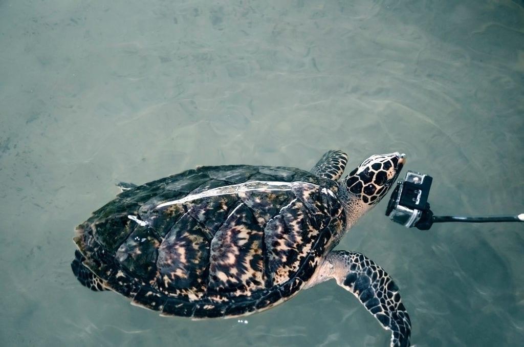 Day 10 Thissamaharama – Bentota- Evening cycle safari -  Kosgoda turtle hatchery.